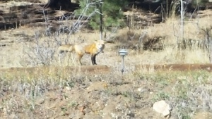 This gorgeous creature greeted me as I drove down the mountain this morning. I love Colorado! [ 1 more word. ]